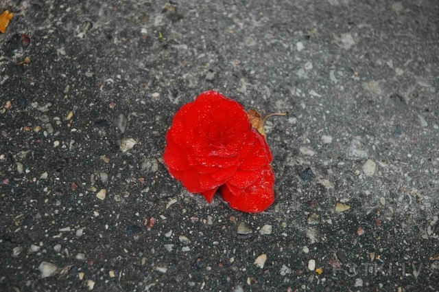 kiss of a rose on the ground