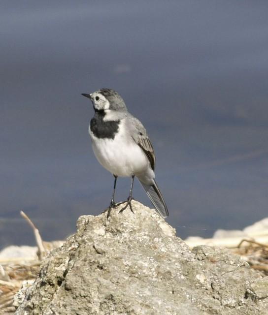 Latvijas nacionālais putns-baltā cielava