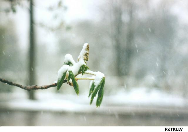 Каштан в снегу (22.04.2005)