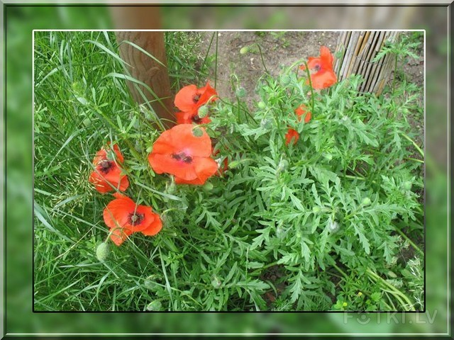 Daudzviet zied magones